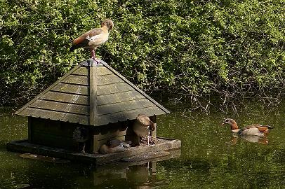 goose house in the middle of a pond with Egyptian geese